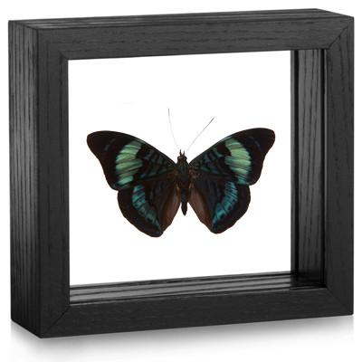 The Annabella Butterfly - Panacea regina - Topside - Black frame