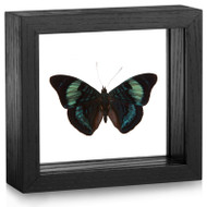 The Annabella Butterfly - Panacea regina - Topside - Black frame