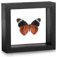 The Annabella Butterfly - Panacea regina - Underside- Black frame