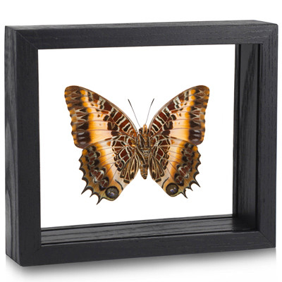 Black Bordered Charaxes - Charaxes Pollux - Underside - Black Frame