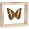 Black Bordered Charaxes - Charaxes Pollux - Underside - Natural Frame
