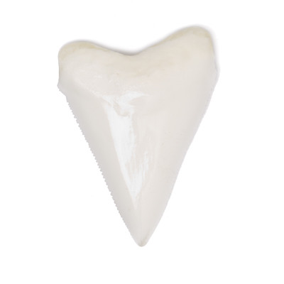 Replica of Great White Shark Tooth - Carcharodon Carcharias - Thumbnail