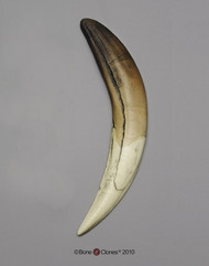 Sabertooth Cat Tooth, Single (Replica)