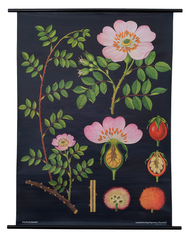 Dog Rose Botanical Poster