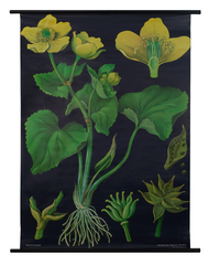 Marsh Marigold Botanical Poster