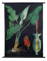 Arum Botanical Poster