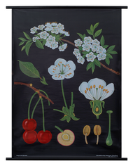 Cherry Tree Botanical Poster