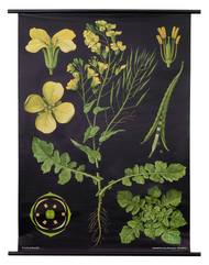 Rapeseed Botanical Poster