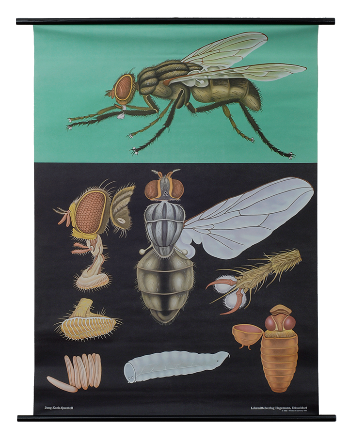 House Fly Zoological Poster - The Evolution Store