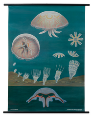 Jellyfish Zoological Poster