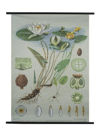 White Water Lily Botanical Poster The Evolution Store