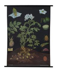 Potato Botanical Poster