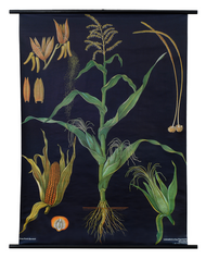 Maize Botanical Poster