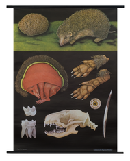 Hedgehog Zoological Poster