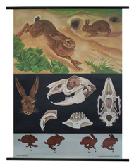 Hare/Wild Rabbit Zoological Poster
