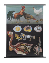 Domestic Chicken Zoology Poster