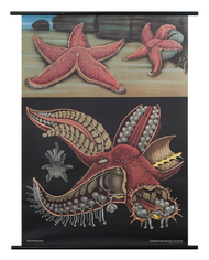 Common Starfish Zoological Poster