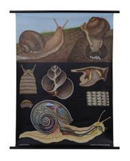 Edible Snail Zoology Poster