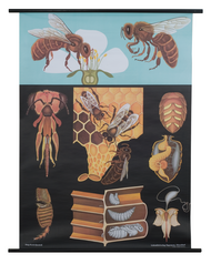 Honey Bee Zoological Poster