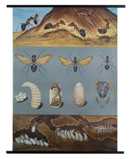 Red Ant Zoological Poster