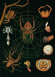 Garden Spider Zoology Poster