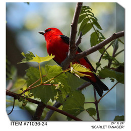 Scarlet Tanager Canvas Wall Art
