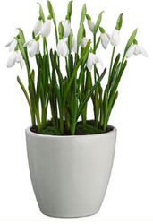SNOWDROP IN WHITE VASE 12""
