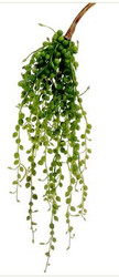 STRING OF PEARLS SUCCULENT GREEN 16""