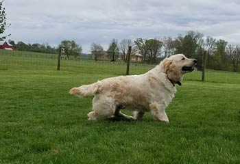 Golden Retriever Chloe