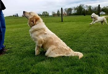 Golden Retriever Chloe