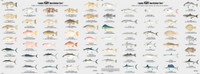 60 different fish identified double sided, laminated, 19 x 26 inches   Fish Identification chart. Shows you what fish you just caught. Explains the structure of the fish and special quailfications of a fish. Also has an area that teachs you how to clean and gut a fish.