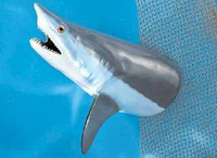 Fish Mount - Giant Mako Shark 36 inch