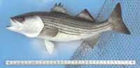 Fish Mount - Striper 36 inch