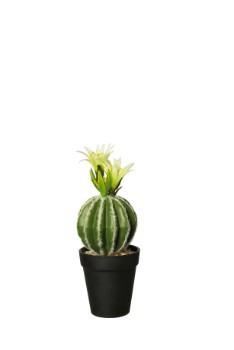Cactus Echino Grusani In Plastic Pot