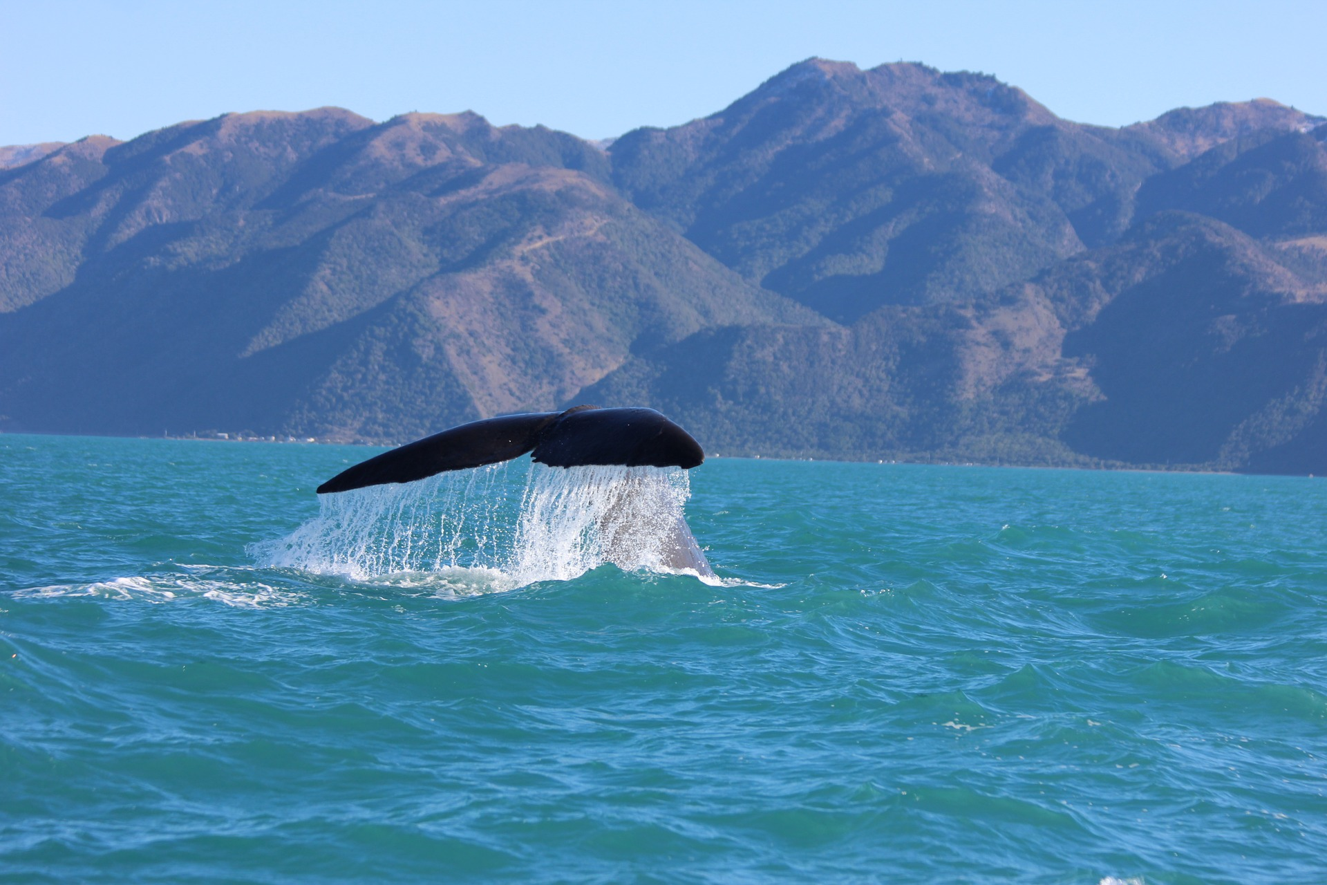 Kaikoura, whale, humpback whale, the flight blog