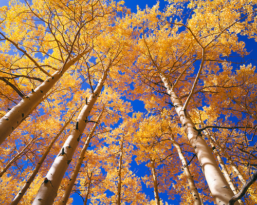"""""""Autumn Gold on High"""" Photograph by Colorado photographer James Frank. Looking up at a canopy of autumn aspen trees along Last Dollar Road in Colorado."""