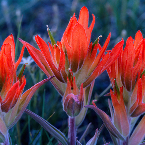 """""""Paintbrush Trio"""" Photograph by Colorado photographer James Frank. This is a 1x1 proportion photo with a great plaque float mount and available in various sizes. All mountings include UV protection for the photograph so your photo lasts a lifetime."""