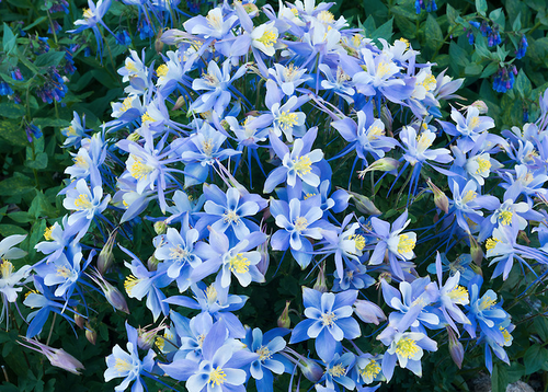 """""""Remarkable! Colorado Columbine"""" Photography by Colorado photographer James Frank. """"No other place in Rocky Mountain National Park have I ever seen columbine with the circumference and proliferation of blooms as the ones discovered near Hutcheson Lakes in the southernmost drainage of the national park."""""""