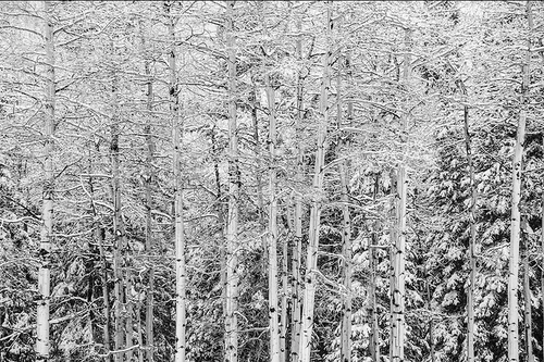 """""""Aspen Trees in Snow in Black & White"""" Photograph by Colorado photographer James Frank. This photograph was taken in Horseshoe Park near Rocky Mountain National Park, Colorado, USA."""
