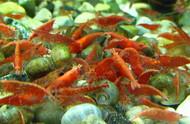 Cherry Red Shrimp