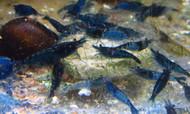 Blue Velvet Shrimp