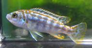 Exasperatus Cichlid