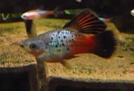 HiFin Blue Rainbow Variatus