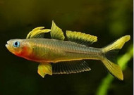 Blue Eye Forktail Furcatus Rainbowfish