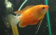 Dwarf Red Robin Honey Gourami