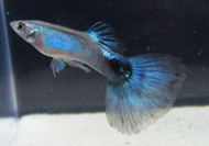 Blue Diamond Guppy Pair