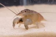 Vampire Shrimp (Atya gabonensis)
