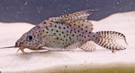 """5"""" Synodontis Eupterus"""