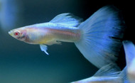 Sky Blue Topaz Guppy Pair