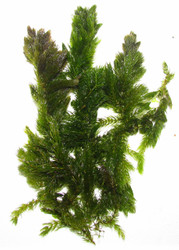 Hornwort Bunch Plant